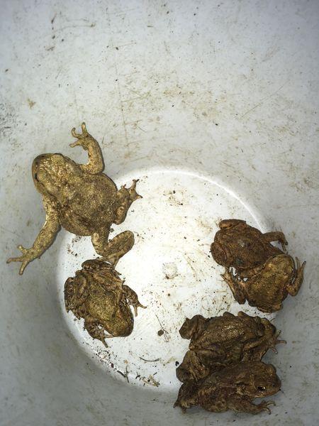 Kröten in Fangeimer